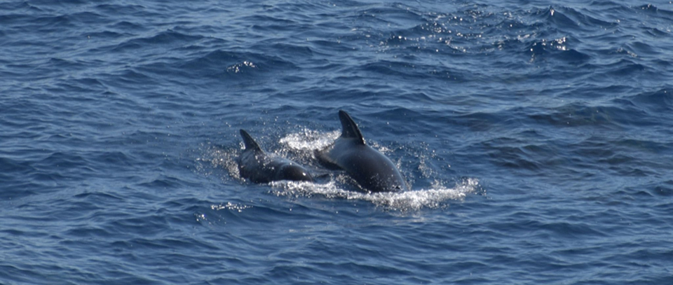 Pilot whales from August 2019 trip1