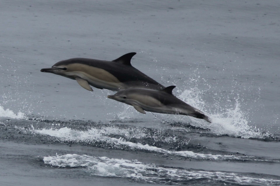 Magnificent Qualities of a Common Dolphin
