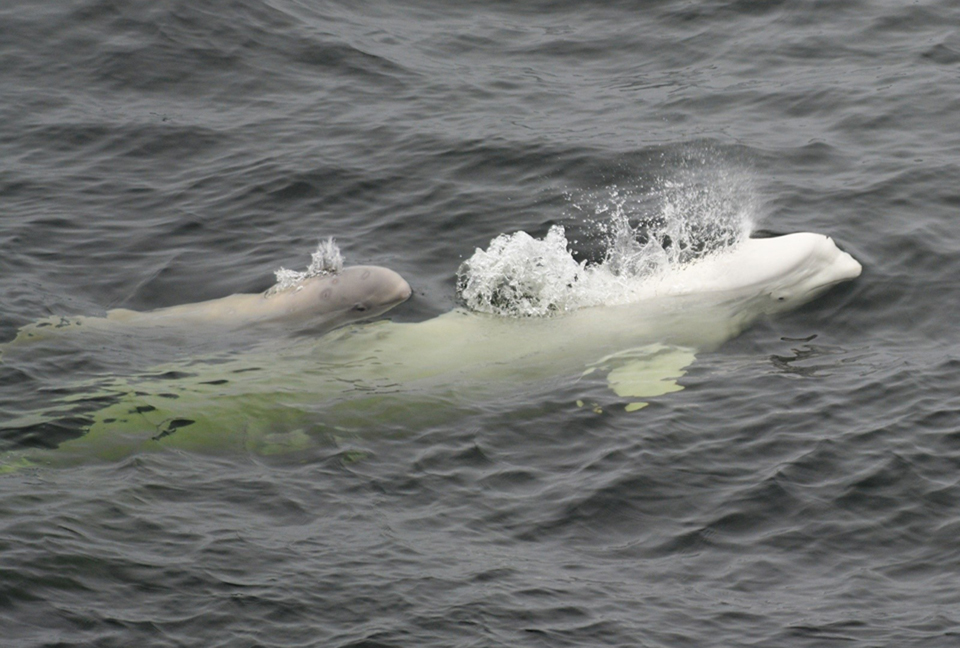 Russia frees final Belugas from 'whale jail'