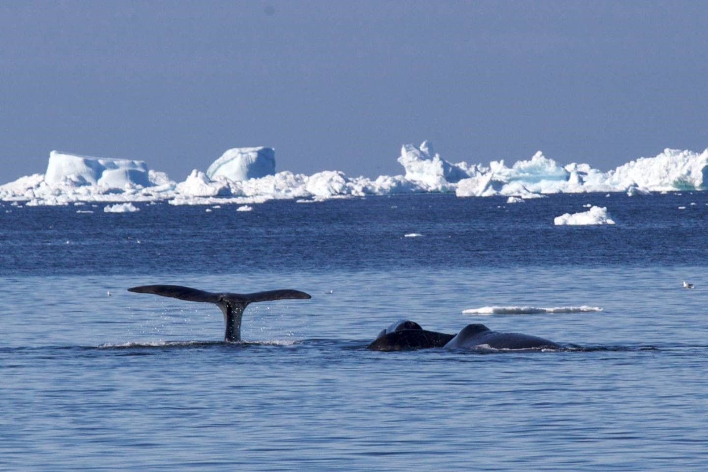 Search for bowhead whales with ORCA!