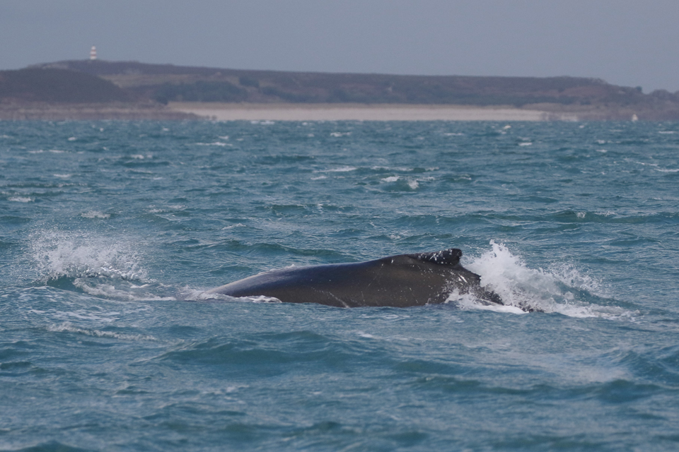 Humpback whale in the Celtic Sea