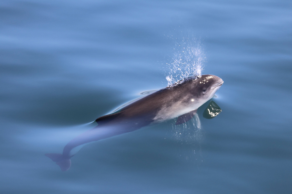Decline in harbour porpoises in the North Sea