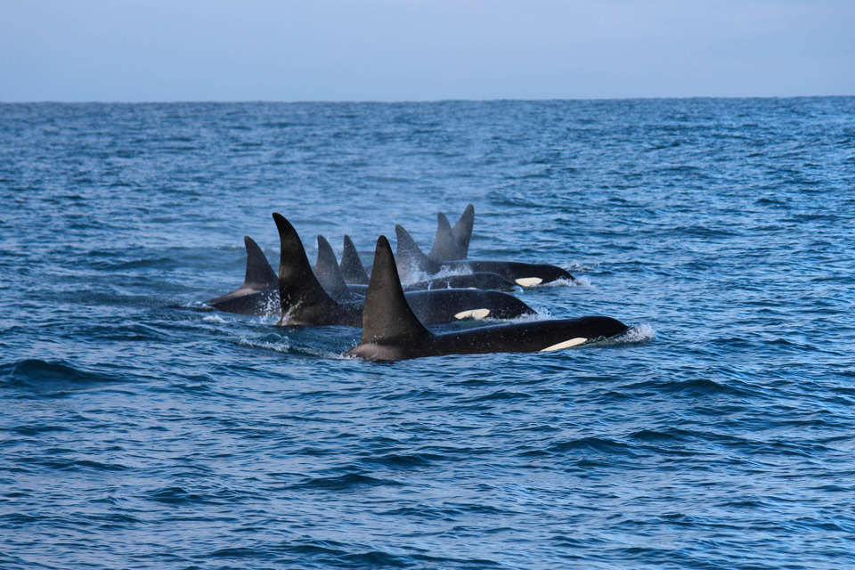 New Southern Resident killer whale calf spotted!