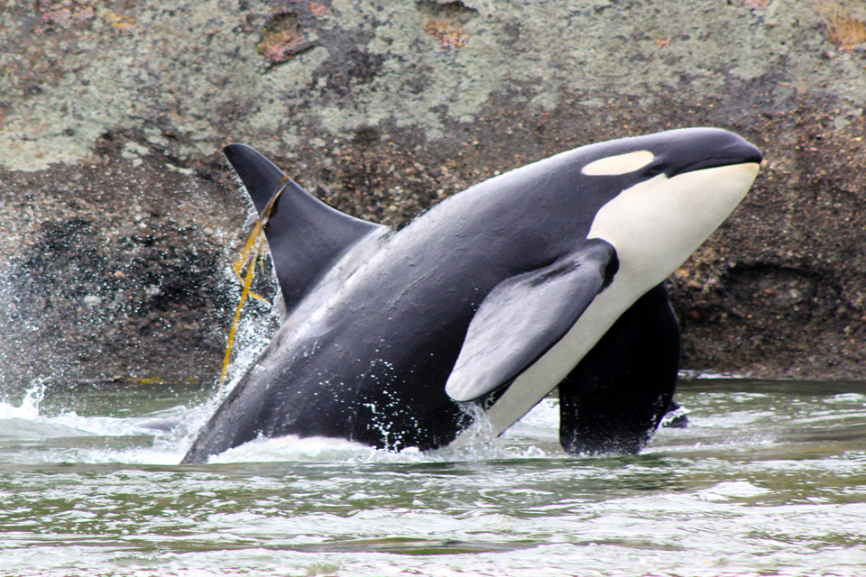 Talking killer whale can mimic human sound