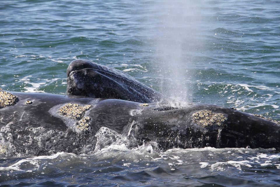 Exceptional sighting of a gray whale in Italy