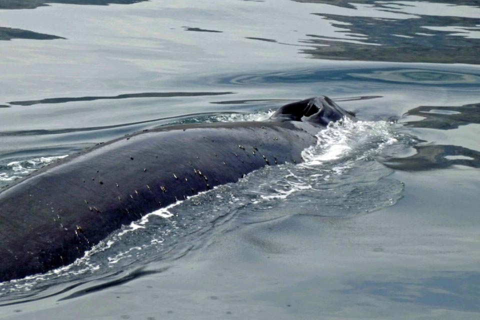 Sei whale in the Firth of Forth