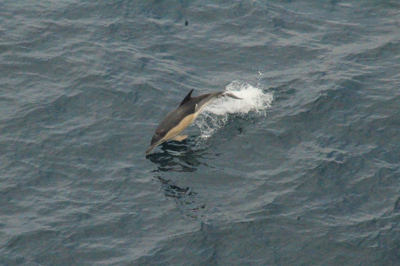 A library image of common dolphins