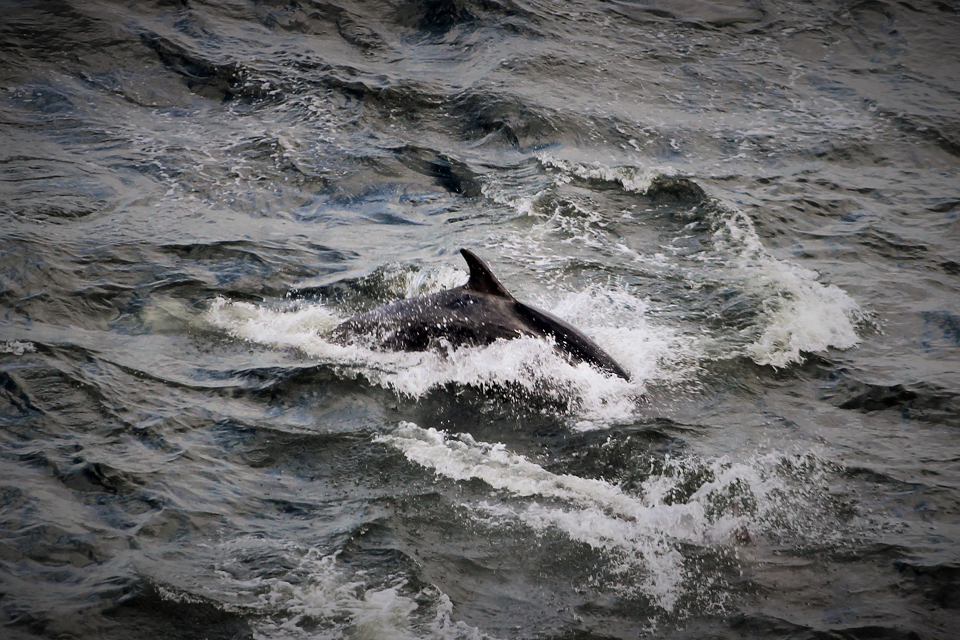 Bottlenose dolphins in the North Sea