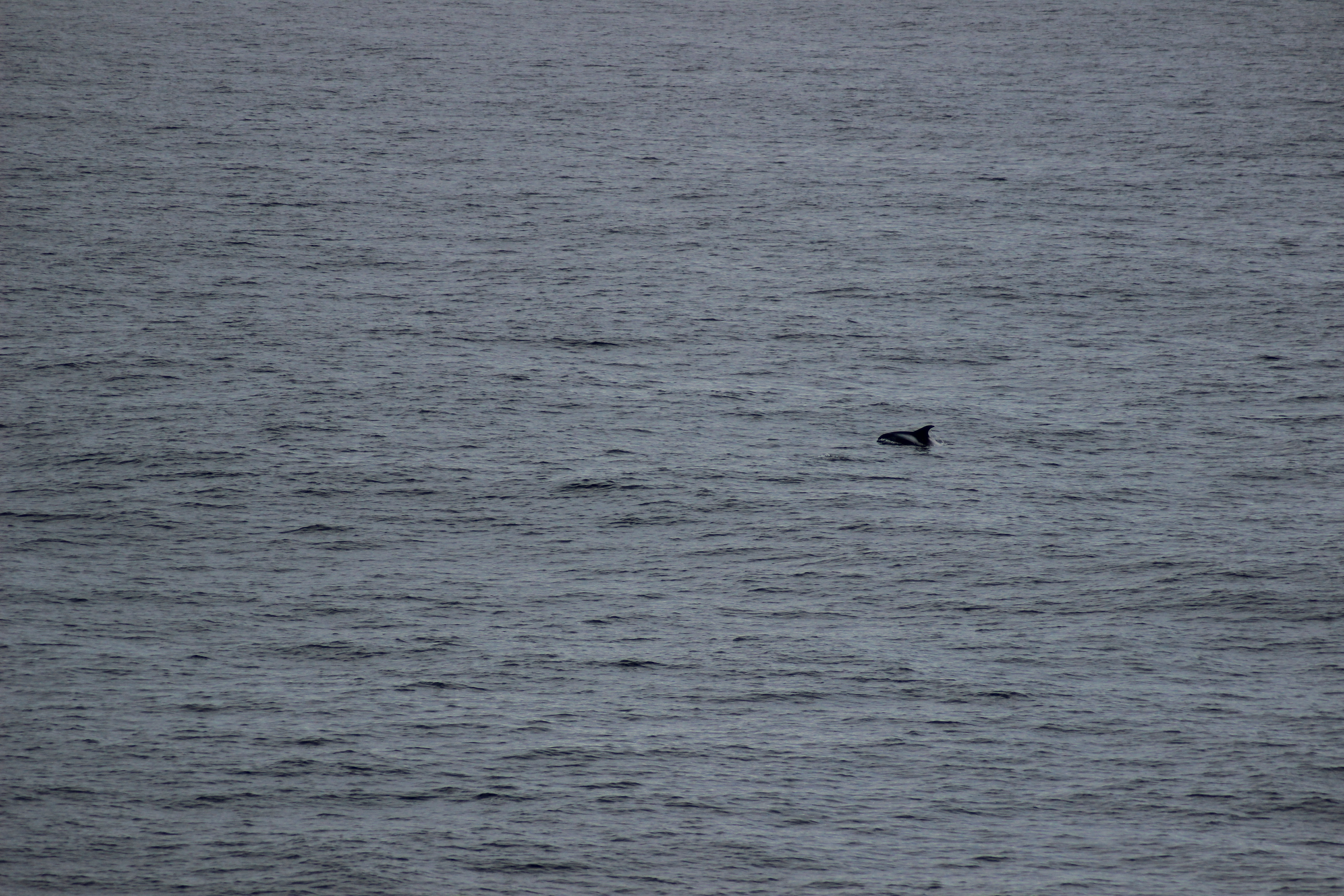 Harbour Porpoise and Minke Whales