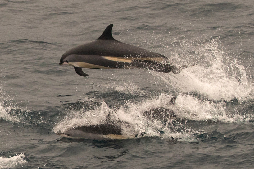 1,428 white-sided dolphins driven to their death