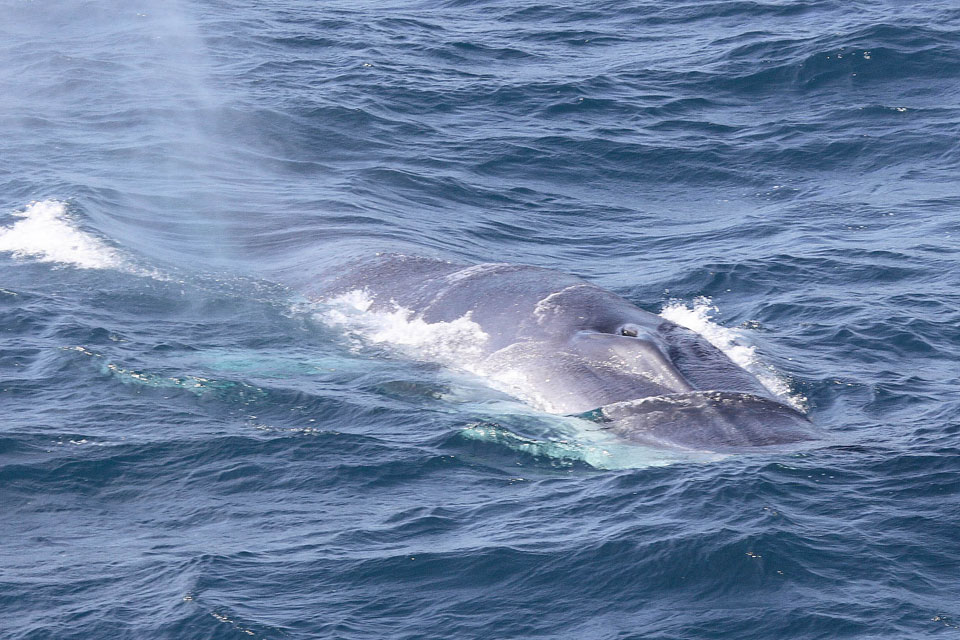 Positive news for fin whale populations