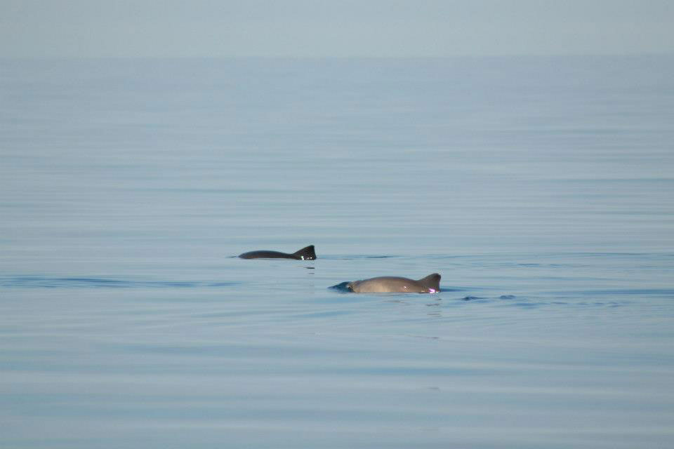 Harbour porpoises and the mist