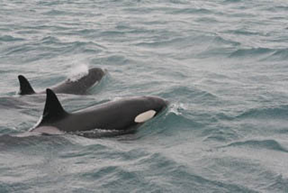 Stranded killer whale discovered in East Anglia