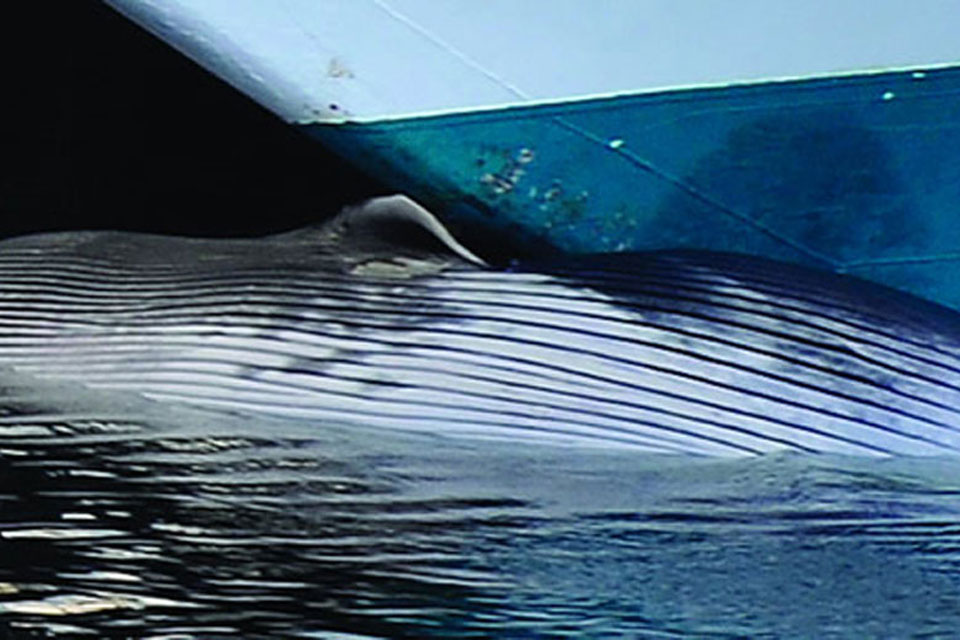 Blue whale found to be a victim of ship strike